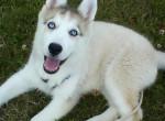 Chien eska - Husky Femelle (5 mois)
