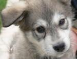 Chien husk - Husky Mâle (3 mois)