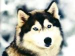 Chien ricard - Husky Mâle (4 ans)