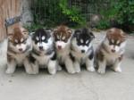 Chien Pleins de huskys  - Husky Femelle (0 mois)