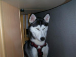 Chien Ice - Husky Femelle (3 ans)