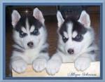 Chien filou et mona - Husky Femelle (5 mois)