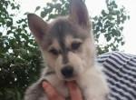 Chien Pixel - Husky Femelle (5 mois)