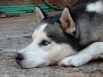 Chien HOLGA - Husky Femelle (4 ans)
