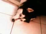 Chien tornade - Husky Mâle (6 ans)