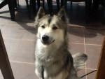 Chien Haska - Husky Femelle (1 an)
