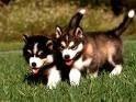 Chien feroce et cokin - Husky Mâle (0 mois)