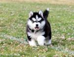 Chien LUKY - Husky Mâle (2 mois)