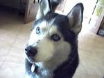 Chien Neige - Husky Femelle (3 ans)