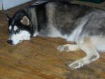 Chien Bandit - Husky Mâle (3 ans)