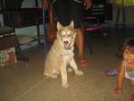 Chien lobo - Husky Mâle (1 an)