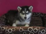 Chien flocon - Husky Mâle (2 mois)
