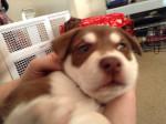 Chien Jake - Husky Mâle (4 mois)