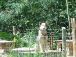 Chien ouragant - Husky Femelle (3 mois)
