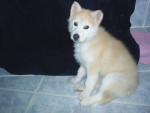 Chien Nookie après son premier bain - Husky  (0 mois)