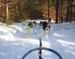 Chien Ride en traineau - Husky  (0 mois)