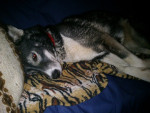 Chien Unsere Angel - Husky Femelle (2 ans)