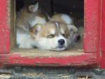 Chien Puppies - Husky  (0 mois)