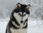 Chien Caught somewhere in time of cold winter nights, siberian husky - Husky  (0 mois)