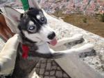 Chien Lena chiot de 7 mois - Husky  (7 mois)
