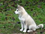 Chien Byee - Husky Femelle (0 mois)