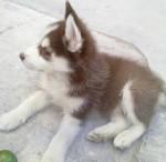 Chien Lucky, D.E.P. - Husky Mâle (5 mois)