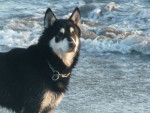 Chien lox - Husky Mâle (7 ans)