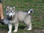 Chien Nima - Husky Femelle (3 mois)