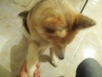 Chien New Lucky 2.0 - Husky Mâle (6 mois)