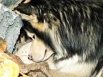 Chien Siberia - Husky Femelle (3 ans)