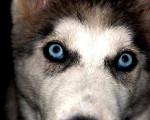 Chien Teatrera Ojos Azules - Husky Femelle (9 mois)