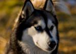 Chien  - Husky Femelle (0 mois)