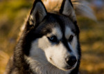 Chien  - Husky  (0 mois)