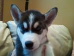 Chien koah - Husky Mâle (3 mois)