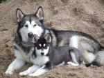 Chien deux beaux husky - Husky Femelle (0 mois)