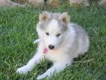 Chien Twist - Husky Femelle (5 mois)