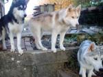 Chien La petite meute - Husky Femelle (0 mois)