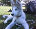 Chien Eska - Husky Femelle (3 ans)