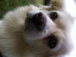 Chien Cookie - Spitz japonais Femelle (10 mois)