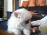 Chien Daysi - Spitz japonais Femelle (2 mois)