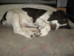 Chien Isis - English Springer Spaniel Femelle (2 mois)