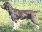 Chien LE CLOS BECASSIER - SPRINGER ANGLAIS - English Springer Spaniel  (0 mois)