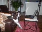 Chien springer anglais Nach - English Springer Spaniel  (0 mois)