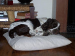 Chien springer anglais Nach - English Springer Spaniel  (0 mois)