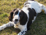 Chien Diana Springer Spaniel de 1 an - English Springer Spaniel  (0 mois)