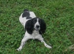Chien Diana Springer Spaniel - English Springer Spaniel  (0 mois)
