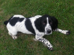 Chien Diana - English Springer Spaniel  (0 mois)