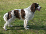 Chien Springer anglais - English Springer Spaniel  (0 mois)