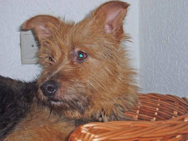 Chien terrier australien    gribouille - Terrier australien  (0 mois)
