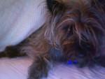 Chien Hairy Potter - Terrier de Norwich Mâle (2 ans)